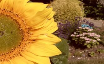 sunflower_web
